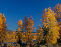 749450393 the setting sun turns the fall colored aspens populus tremuloides bordering both banks of a small river a soft golden hue as the moon rises near the south entrance to grand tetons national park in wyoming