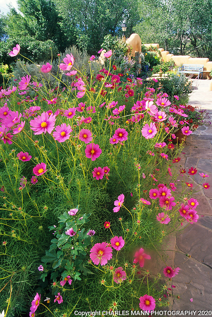 Susan Blevins of Taos, New Mexico, created an elaborate home garden featuring containers, perennial beds, a Japanese themed path and a regional style that reflectes the Spanish and pueblo architecture of the area. A cluster of red and pink cosmos create a vibrant accent for the garden in late summer.