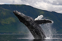 pu50845-D. Humpback Whale (Megaptera novaeangliae) breaching. Alaska, USA, Pacific Ocean..Photo Copyright © Brandon Cole. All rights reserved worldwide.  www.brandoncole.com..This photo is NOT free. It is NOT in the public domain. This photo is a Copyrighted Work, registered with the US Copyright Office. .Rights to reproduction of photograph granted only upon payment in full of agreed upon licensing fee. Any use of this photo prior to such payment is an infringement of copyright and punishable by fines up to  $150,000 USD...Brandon Cole.MARINE PHOTOGRAPHY.http://www.brandoncole.com.email: brandoncole@msn.com.4917 N. Boeing Rd..Spokane Valley, WA  99206  USA.tel: 509-535-3489