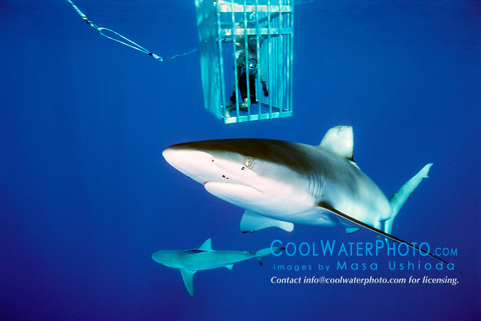Galapagos shark, Carcharhinus galapagensis, .sandbar shark (bottom), Carcharhinus plumbeus, .and divers in cage, .North Shore, Oahu, Hawaii (Pacific).