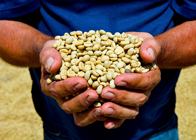 Coffee farmer holds sun dried coffee beans from his coffee farm in the coffee town of San Marcos de Tarrazu in Costa Rica.
