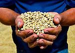 Coffee farmer holds sun dried coffee beans from his coffee farm in the coffee town of San Marcos de Tarrazu in Costa Rica.