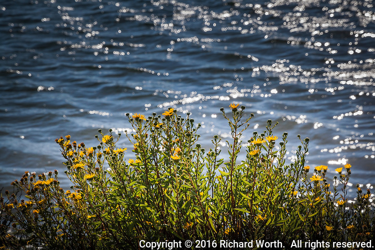 Yellow flowers of the Narrowleaf Pacific Gumplant along San Leandro Bay at MLK Regional Shoreline in Oakland, CA.