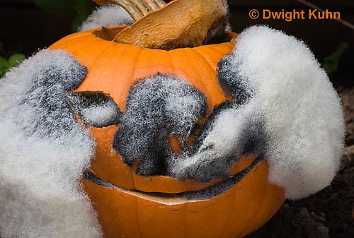 DC09-585z   Bread Mold growing on Pumpkin Jack-o-Lantern, Rhizopus stolonifer