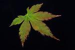 Acer leaf floating on pond water, Kent, UK, black background.United Kingdom....