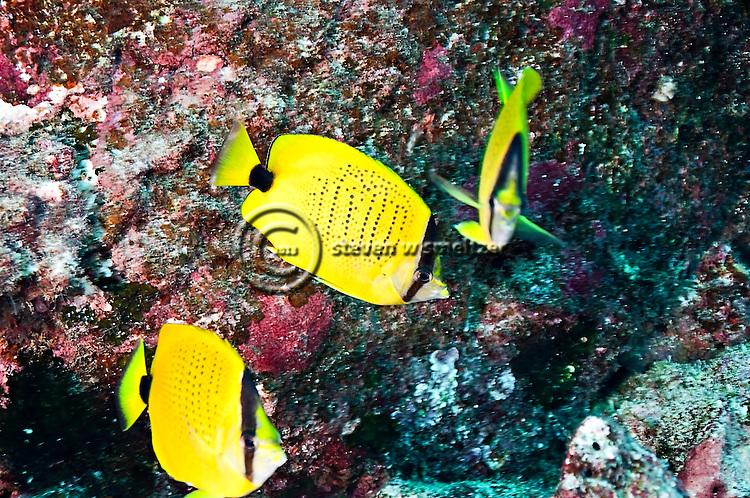 Chaetodon miliaris quoy gaimard 1824 molokai hawaii