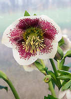 Helleborus x hybridus, Single White &amp; red spotted, flowers of Hellebore White Spotted Lady