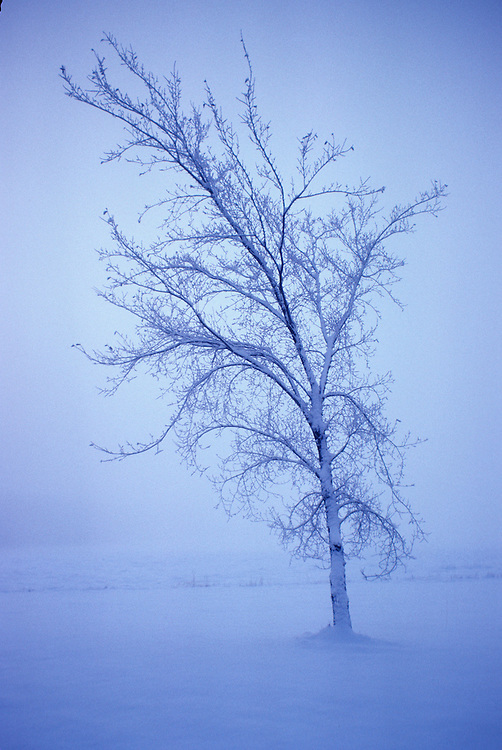Skeleton bone branches of single deciduous tree in mist, after snowstorm, twilight, St. Alberta, Alberta.