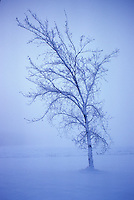 Skeleton bone branches of single deciduous tree in mist, after snowstorm, twilight, St. Alberta, Alberta.