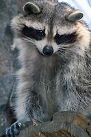 Wild Raccoon (Procyon lotor) standing on Tree Stump