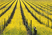 Early spring wild Mustard in California vineyard