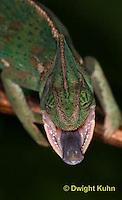 CH51-567z  Female Veiled Chameleon tongue flicking at prey, Chamaeleo calyptratus