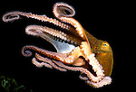 Octopus swimming, eight tentacles, with suckers visible, cephalopod, marine....