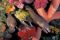 Apparently unconcerned about interspecies rivalry, a trio of morays share a rock crevice, accompanied by a seastar and colorful soft corals.  Fimbriated Moray, Gymnothorax fimbriatus (center), and White-Eyed Morays, Siderea thysoidea (on either side)  Richelieu Rock, Thailand, Andaman Sea