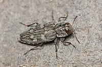 Metallic Wood-boring Beetle (Chrysobothris rugosiceps), Bear Mountain State Park, Stony Point, Rockland County, New York