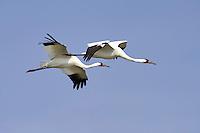 Whooping Cranes in flight