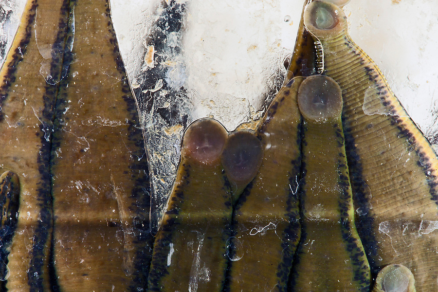 Udelnaya, Russia, 08/10/2012..Leeches cling to the inside of their glass jars in the International Medical Leech Centre, the largest leech farm in the world.