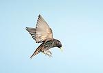 Starling, Sturnus Vulgaris, UK, in flight, flying, high speed photographic technique, garden, blue sky background, cut out