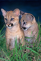a captive pair of wildlife rescue mountain lion cubs felis concolor sit in tall grasses in central florida
