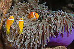 Nemo Thila, Maarehaa Island, Huvadhoo Atoll, Maldives; one adult and two juvenile Blackfinned Anemonefish (Amphiprion nigripes) in a purple Magnificent Sea Anemone