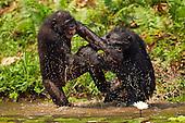 Bonobos play fighting in water (Pan paniscus), Lola Ya Bonobo Sanctuary, Democratic Republic of Congo.