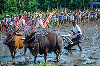 Bali, Buleleng, Lovina. Bullracing on Lovina, North Bali. Bullracing can be a serious sport, but also a lot of fun.