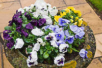 Cement planter with lichen pot container garden of viola Pansies in mixed colors, blue, white, purple, yellow, perennials