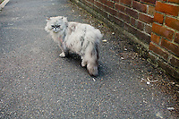 cat of doom, chiswick