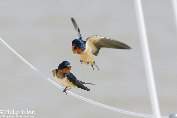 Barn swallows (Hirundo rustica) usually dart around at high speeds.