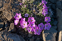 Siberian phlox wildflowers, Utukok uplands, National Petroleum Reserve Alaska, Arctic, Alaska.