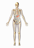 Biomedical illustration of a man in frontal view showing the digestive and skeletal systems