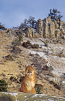 656326315 Mountain Lion Felis concolor CAPT.Central Montana