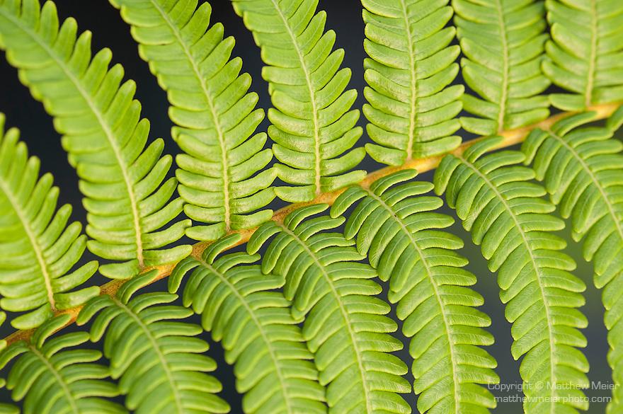 Taveuni, Fiji; detail view of a fern leaf