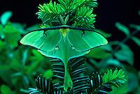 Luna moth, Actias luna,  sitting on foniferous yew plant, Taxus baccata
