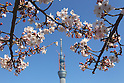 April 6, 2011, Tokyo, Japan - The Tokyo Sky Tree is seen through cherry blossoms in full bloom at Sumida Park in Taito ward, Tokyo on Wednesday, April 6, 2011. With the coming of spring, many people enjoy viewing the blooms with the new Tokyo landmark tower. (Photo by Daiju Kitamura/AFLO) [1045] -ty-