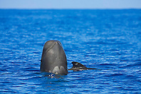 Short-finned pilot whales, mother and calf, mother whale spyhopping, Globicephala macrorhynchus, off Kona, Big Island, Hawaii, Pacific Ocean.