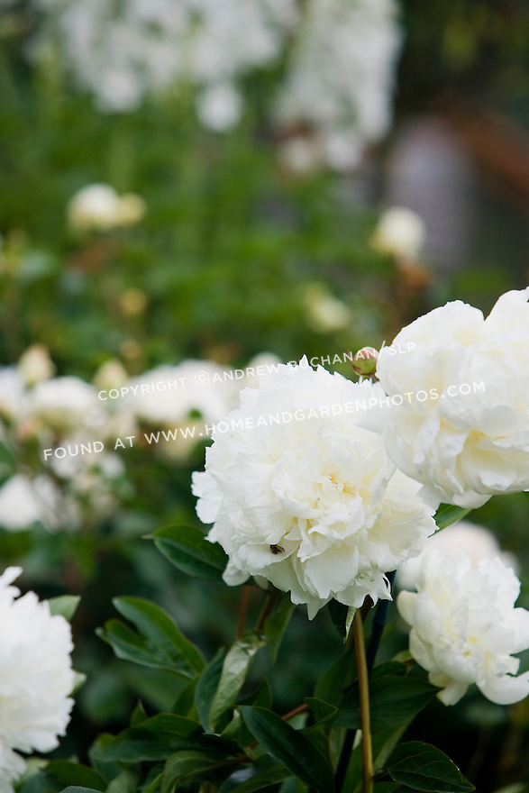 A close-up detail of white peony blooms backed by white delphinium stalks in soft focus behind, in the Sissinghurst-style white garden behind the farmhouse on this property about one hour north of Seattle in the Skagit Valley. Garden design by Toni Christianson, Christianson's Nursery