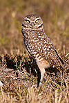 Burrowing owl, Athene cunicularia, Cape Coral, Florida, USA