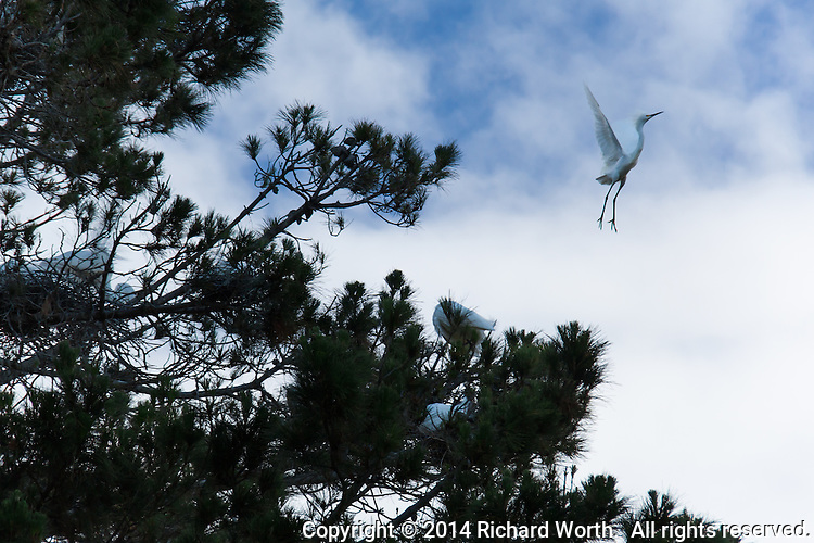 A Snowy egret takes off from a nesting tree.  At least five other egrets remain tucked among the branches.'