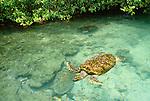 Green sea turtle, Caribbean Sea, Panama