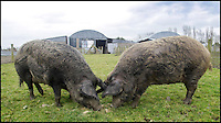BNPS.co.uk (01202 558833)<br /> Pic: DavidFitzgerald/BNPS<br /> <br /> Two iron-age pigs on Mr Gracey's farm.<br /> <br /> Supplying farm animals to TV and film crews, including the huge hit series Game of Thrones, has saved Kenny Gracey's bacon.<br /> <br /> The 57-year-old farmer started supplying pigs, cows, donkeys, goats and even a trained deer to Hollywood seven years ago, when the recession was hitting his business hard.<br /> <br /> Mr Gracey said the film work his animals get has helped him pay the bills and keep his business going.<br /> <br /> Forthill Farm in Tandragee, Northern Ireland, specialises in traditional breeds like Longhorn cattle and Gloucestershire old spot pigs, ideal for shows and films set in medieval times.