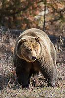 Large boar grizzly bear in Northwest Wyoming