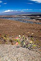 `Ohi`a Lehua, Halema`uma`u Crater, and Mauna Loa, Kilauea Caldera, Hawaii Volcanoes National Park, Big Island, Hawaii