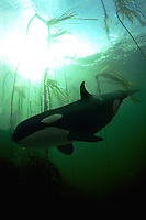 Both the orca and the kelp forrest background were shot underwater in British Columbia.  The two images were combined in a computer.