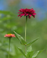 New blooming garden Zinnias.