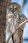 A Great Gray Owl spotted far from his usual habitat in Canada.