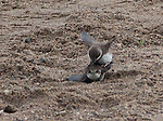 A pair of Bank (or possibly Tree) Swallows mate on the main beach of Lake Nokomis.   The Image files are small, but I couldnt get any closer so had to crop heavily to show these very fast birds during spring mating season.
