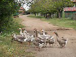 Geese cross the road, Village of Slavotin, Bulgaria