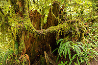 Various types of mosses and ferns grow on a tree stump along the Rain Forest Nature Trail in the Quinault Rain Forest. The termperate rain forest areas on the Olympic Peninsula get upwards of 200 inches of rain per year, making it very lush, moss-covered, and green.