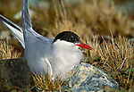 Antarctic tern, South Georgia Island